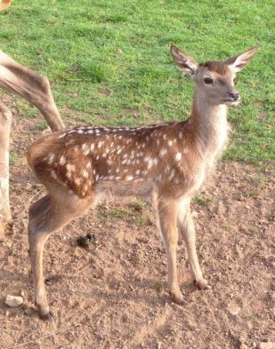 Our new baby Fallow Deer